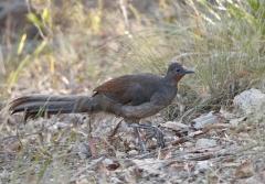 Superb Lyrebird (Image ID 28323)