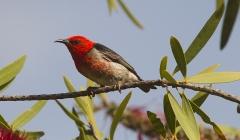 Scarlet Honeyeater (Image ID 28311)