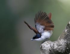 Shining Flycatcher
