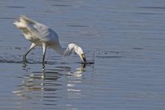 Little Egret (Image ID 28219)