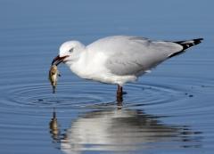 Silver Gull (Image ID 28324)