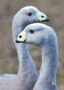 Cape Barren Goose (Image ID 28750)