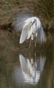 Great Egret (Image ID 28722)