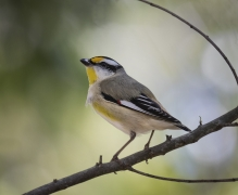 Striated Pardalote (Image ID 28737)