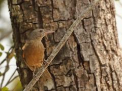 Little Shrike-thrush (Image ID 28734)