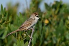 Tawny Grassbird (Image ID 28688)