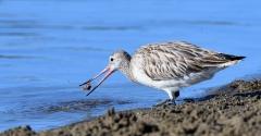 Bar-tailed Godwit (Image ID 28738)