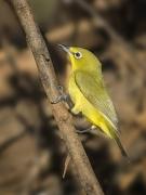 Yellow White-eye (Image ID 28712)