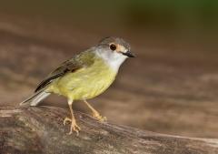 Pale-yellow Robin (Image ID 28683)