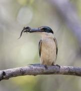 Sacred Kingfisher (Image ID 28713)