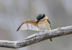 Sacred Kingfisher (Image ID 28726)