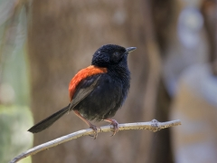 Red-backed Fairy-wren (Image ID 28749)