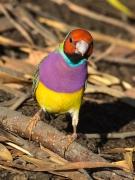 Gouldian Finch (Image ID 29163)