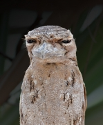 Papuan Frogmouth (Image ID 29117)