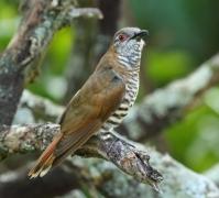 Little Bronze-Cuckoo (Image ID 29101)
