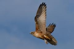 Brown Falcon (Image ID 29114)