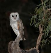 Barn Owl (Image ID 29147)