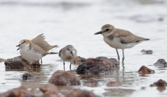 Greater Sand Plover, Red-capped Plover, Red-necked Stint