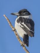 Pied Butcherbird (Image ID 29545)