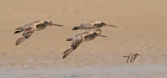 Bar-tailed Godwit, Red-necked Stint