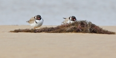 Hooded Plover