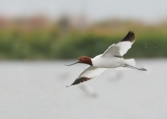 Red-necked Avocet (Image ID 29845)
