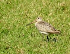 Bar-tailed Godwit (Image ID 29948)