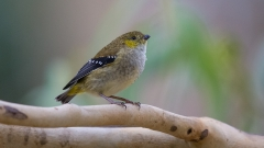 Forty-spotted Pardalote (Image ID 29980)