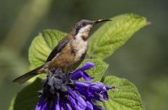 Eastern Spinebill (Image ID 29989)