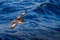 Cape Petrel (Image ID 29964)
