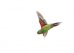 Swift Parrot (Image ID 29988)
