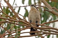Black-eared Cuckoo (Image ID 29956)