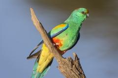 Mulga Parrot (Image ID 29907)