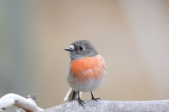Scarlet Robin (Image ID 29986)