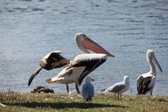 Australian Pelican (Image ID 29953)