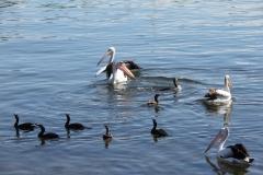 Australian Pelican, Little Black Cormorant