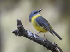 Eastern Yellow Robin (Image ID 30306)