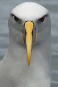 Buller's Albatross (Image ID 30202)