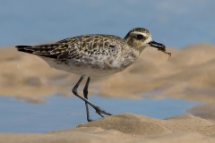 Pacific Golden Plover (Image ID 30124)