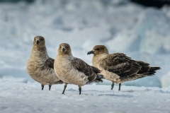South Polar Skua (Image ID 30178)