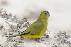 Rock Parrot (Image ID 30321)