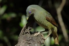 Satin Bowerbird (Image ID 30232)