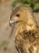Whistling Kite (Image ID 30652)