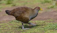 Tasmanian Native-hen (Image ID 30640)