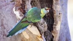 Australian Ringneck (Image ID 30650)