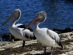 Australian Pelican (Image ID 30662)