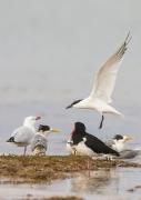Australian Gull-billed Tern, Australian Pied Oystercatcher, Crested Tern, Silver Gull