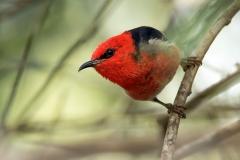 Scarlet Honeyeater (Image ID 30681)