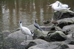 Australian Pelican, Australian White Ibis, Grey Teal, Little Pied Cormorant