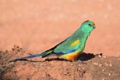 Mulga Parrot (Image ID 30648)